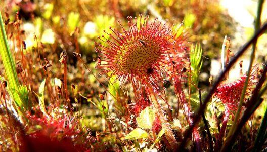 Drosera rotundifolia patří do skupiny rosnatek s přezimujícím pupenem.