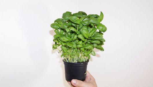 Bazalky se nemusíte vzdát ani v zimě - pěstujte ji v květináči