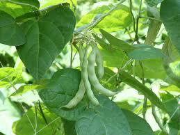 Keříčkové fazole pěstování