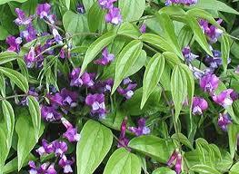Hrachor-krasna kvetina do nasich zahradek