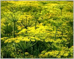 kopr-leciva rostlina v nasi zahradce