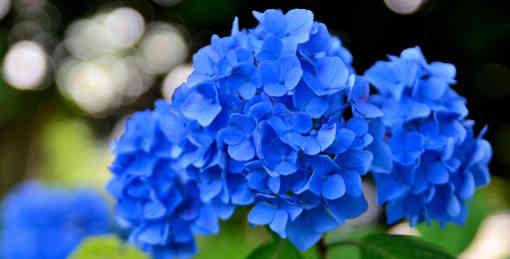 Hortenzie kvetou pouze na vrcholu výhonů