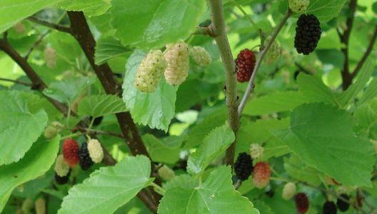 Plody morušovníku černého jsou velmi chutné.