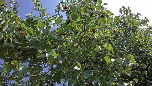 Morušovník černý je mohutný strom.