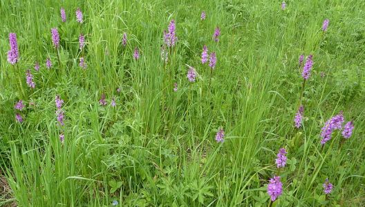 I v Česku rostou orchideje - Vstavač mužský