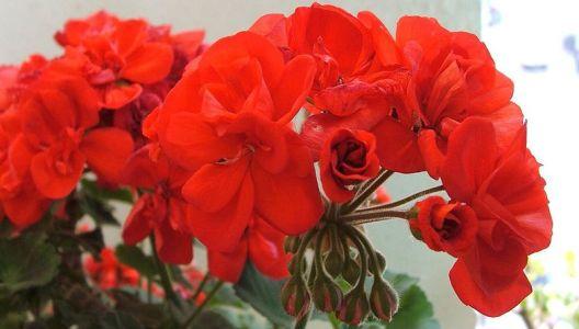 Květy pelargonií mohou mít různé barvy, velmi častý je červený odstín.