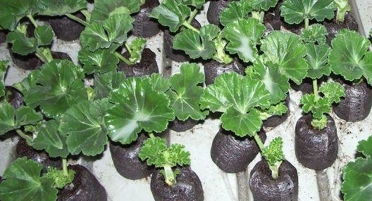 Mladé sazeničky pelargonií přesaďte do kvalitního substrátu.