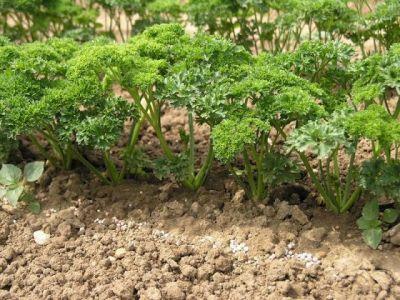 petrzel zahradni