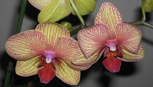 Po odkvětu dopřejte orchidejím období klidu.