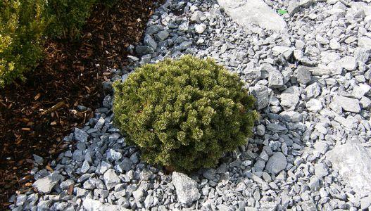 Do malých zahrad se hodí zakrslé kultivary jehličnanů.