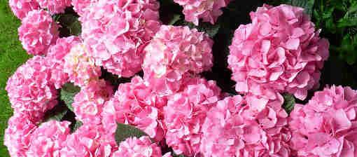 Růžově kvetoucí hortenzie můžeme přimět kvést modře.