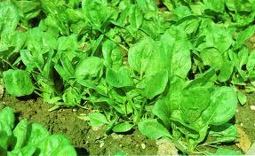 Spenat-velmi zdrava listova zelenina