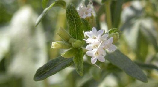 Stévie kvete bílými květy.